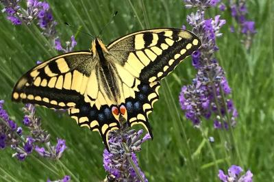 <i>Papilio machaon</i>